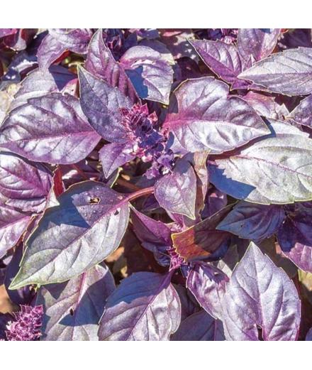 Plantes à Cultiver Et Manger Dark Opal Cultivate & Eat- SEISHIN